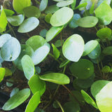 Plant - Pilea Pepermioides (Chinese Money Plant)