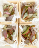 Adore Succulent Leaves (Pink, Purple, Peach and Red) Propagation Kit