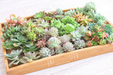 Assorted Succulent Plants - Soul Made Boutique
