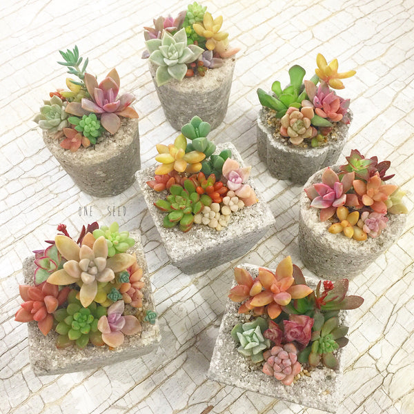 Assorted Succulent Garden Mini - Soul Made Boutique
