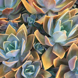 Plant - Graptoveria Fred Ives