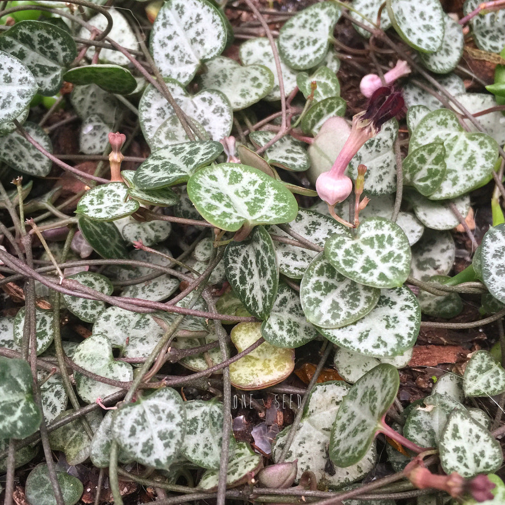 Plant - Ceropegia Woodii (Chain of Hearts)