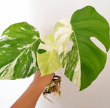 Plant - Variegated Monstera Deliciosa Plant