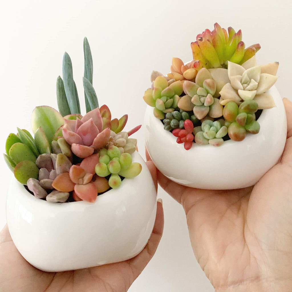 Assorted Succulent Chubby Footed Pot Candy Garden