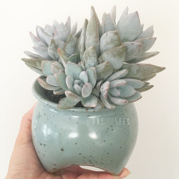Collector's Succulent Plant Speckled Footed Pot