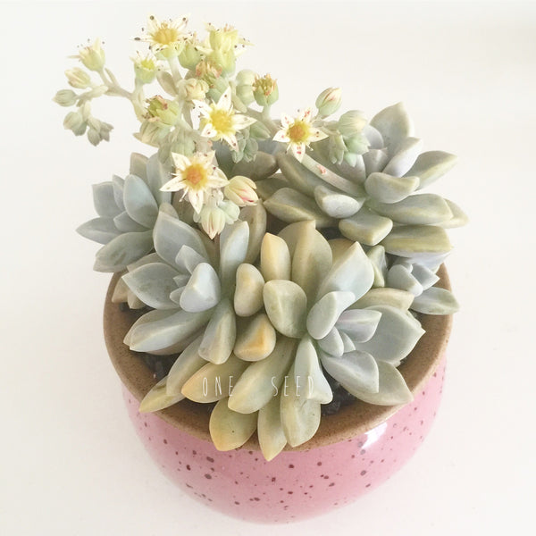 Collector's Succulent Plant Speckled Footed Pot - Soul Made Boutique