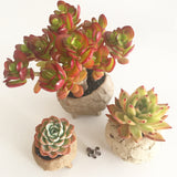 Collector's Succulent Plant Marble Speckled Pot