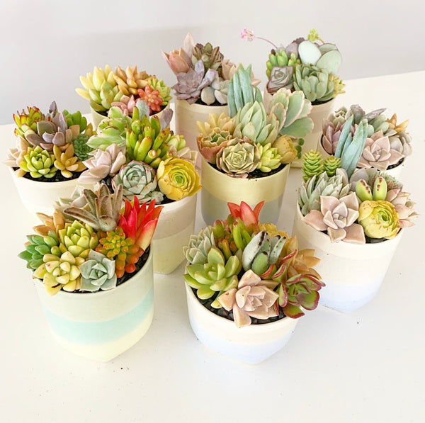 Assorted Succulent Garden Pastel Pot