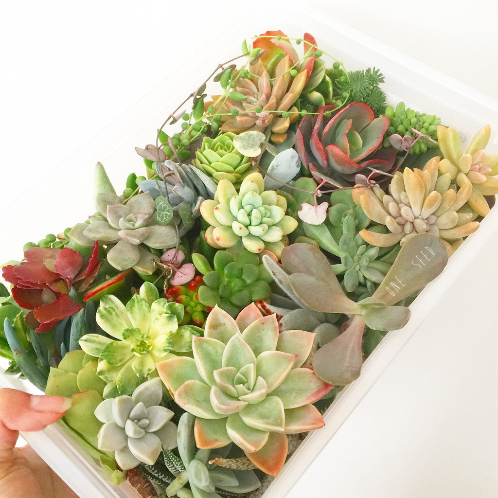 Assorted Succulent Cuttings (Large) - Soul Made Boutique