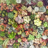 Assorted Succulent Cuttings (Rosette) Wooden Crate Square Pots - Soul Made Boutique