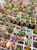 Assorted Succulent Cuttings (Miniatures)