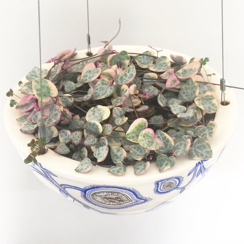 Angus & Celeste Hanging Pot Variegated Chain of Hearts