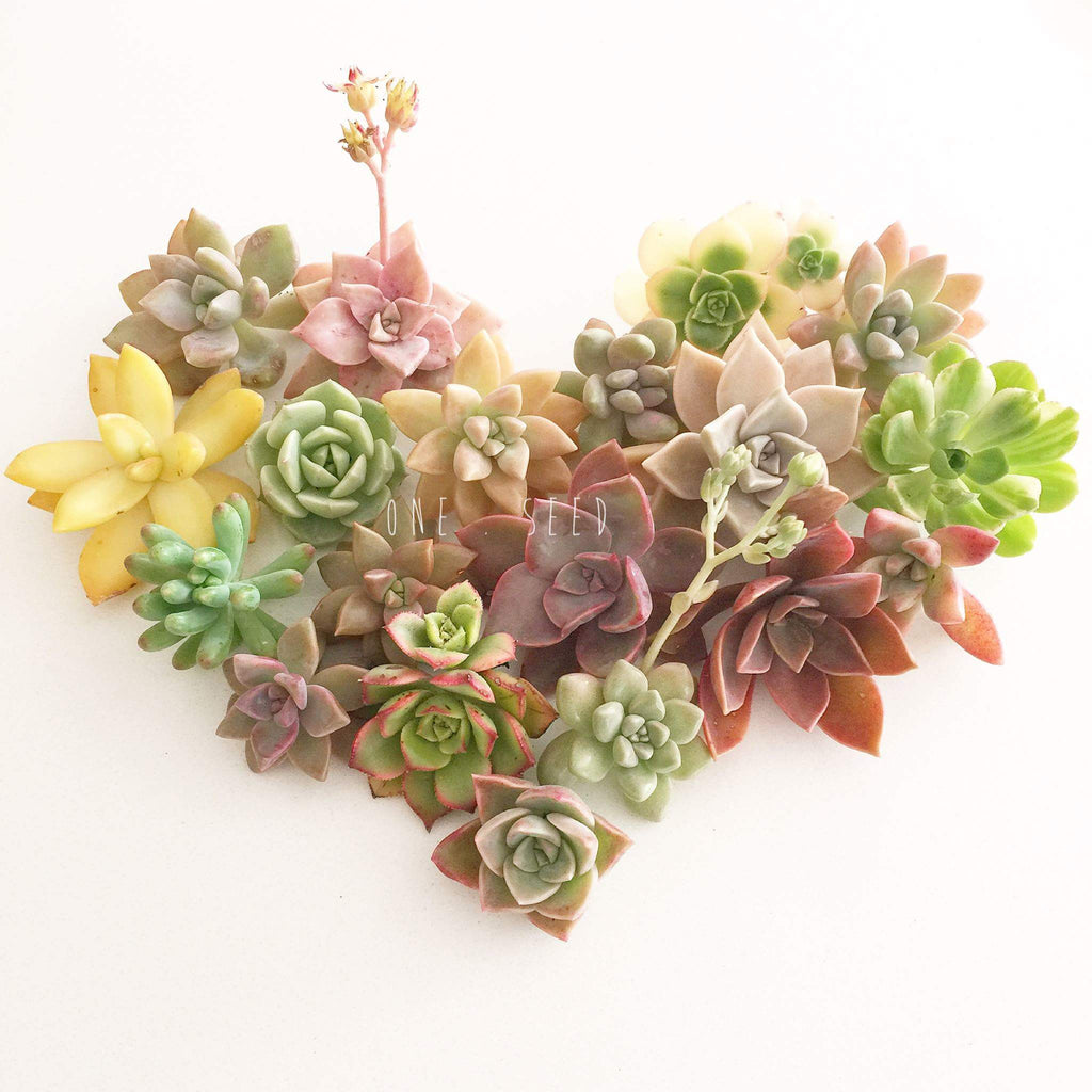 Assorted Succulent Cuttings - Soul Made Boutique