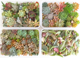 Assorted Succulent Cuttings (Large)