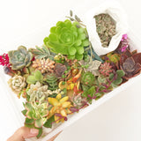Assorted Succulent Cuttings (Regular) - Soul Made Boutique