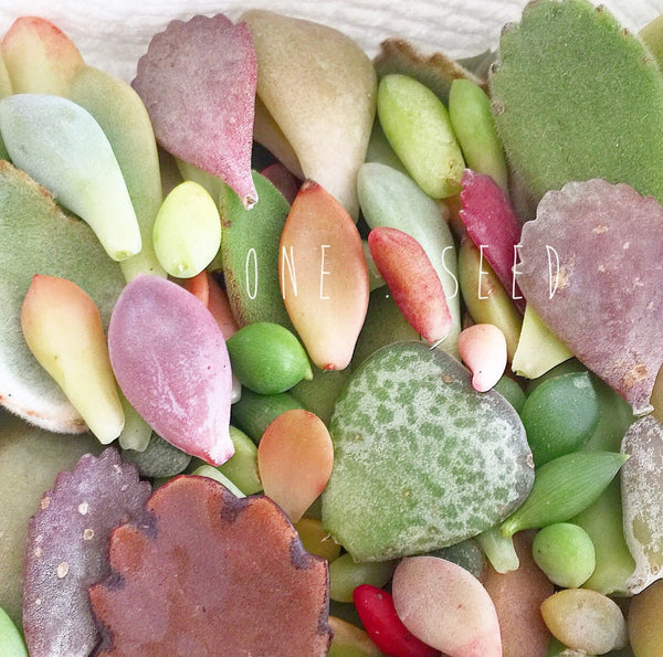 Assorted Succulent Leaves
