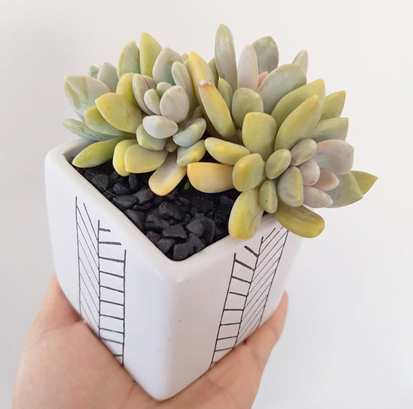 Collector's Succulent Plant Geometry Cube Pot