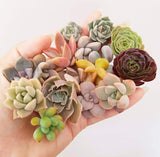Assorted Succulent Cuttings (Regular)