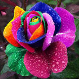 Holland Rainbow Rose Seeds