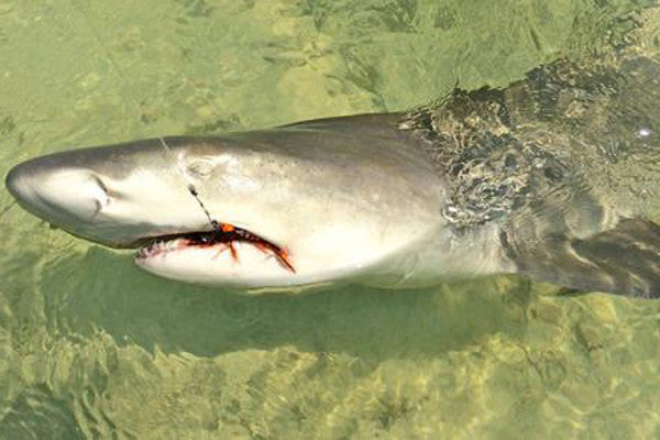 A Little Kayak Love for the Lemon Shark