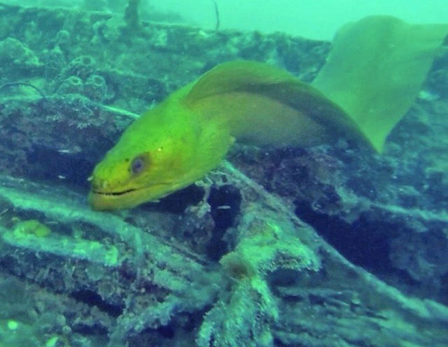 Cayman Salvage Master Green Eel, one of two spotted on the dive. Photo: Captain's Corner Dive Master, Tom Squiga