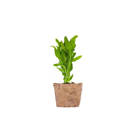 QUBO Growing Kit: Arugula - Learning Plus PH
