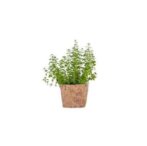 QUBO Growing Kit: Oregano - Learning Plus PH