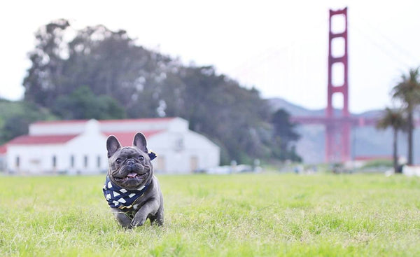 French bulldog in San Francisco Golden Gate Bridge