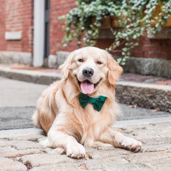 Forest Green Velvet Dog Bow Tie from The Foggy Dog