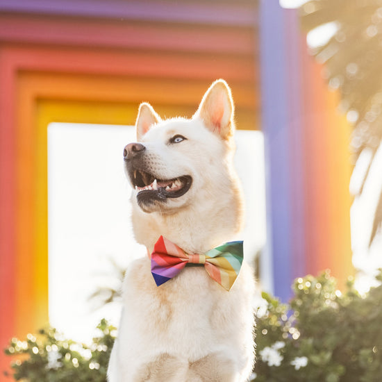 Over the Rainbow Bow Tie Collar from The Foggy Dog