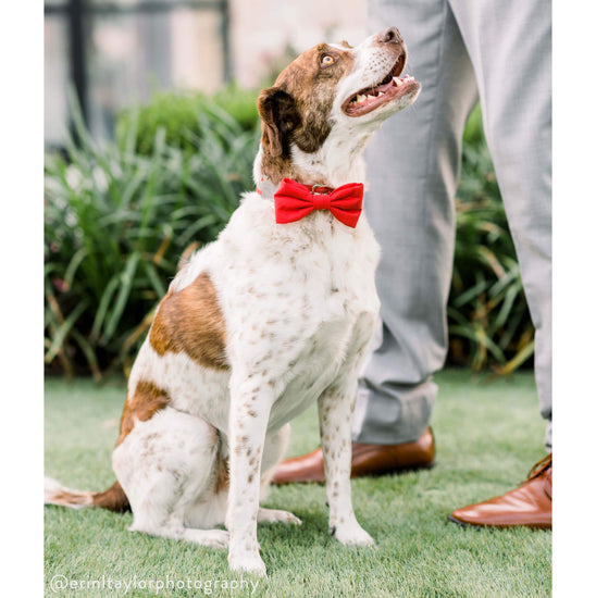 Ruby Dog Bow Tie from The Foggy Dog