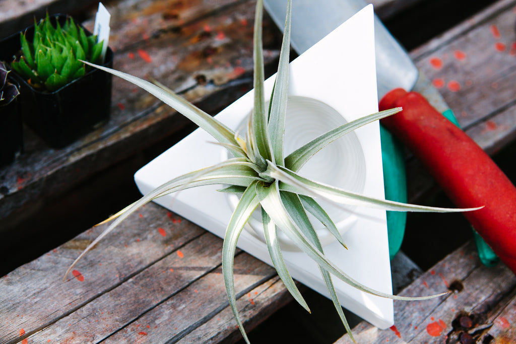 "Plant n' Planter Set - Air Plant - Tillandsia ixioides Fragrant Dwarf 4"" - 6"" size  (FREE shipping)"