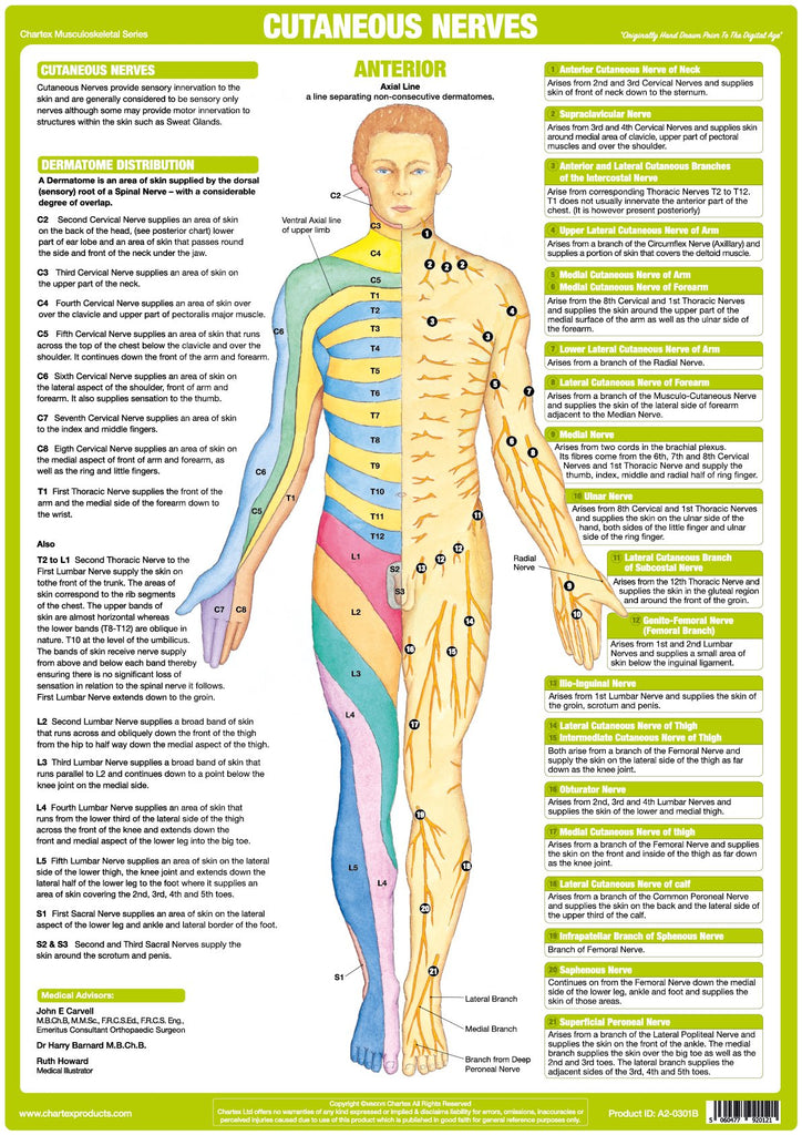 Cutaneous Nerves Anatomy Chart - Anterior – Chartex Ltd