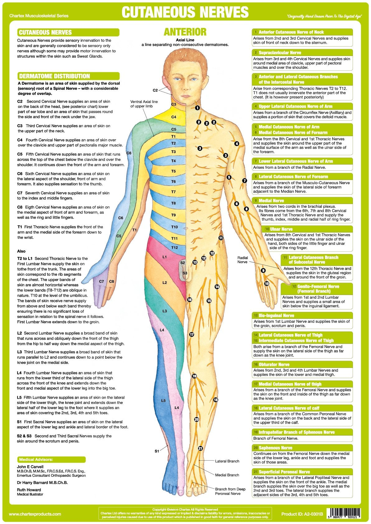 Cutaneous Nerves Anatomy Chart - Anterior - Chartex Ltd