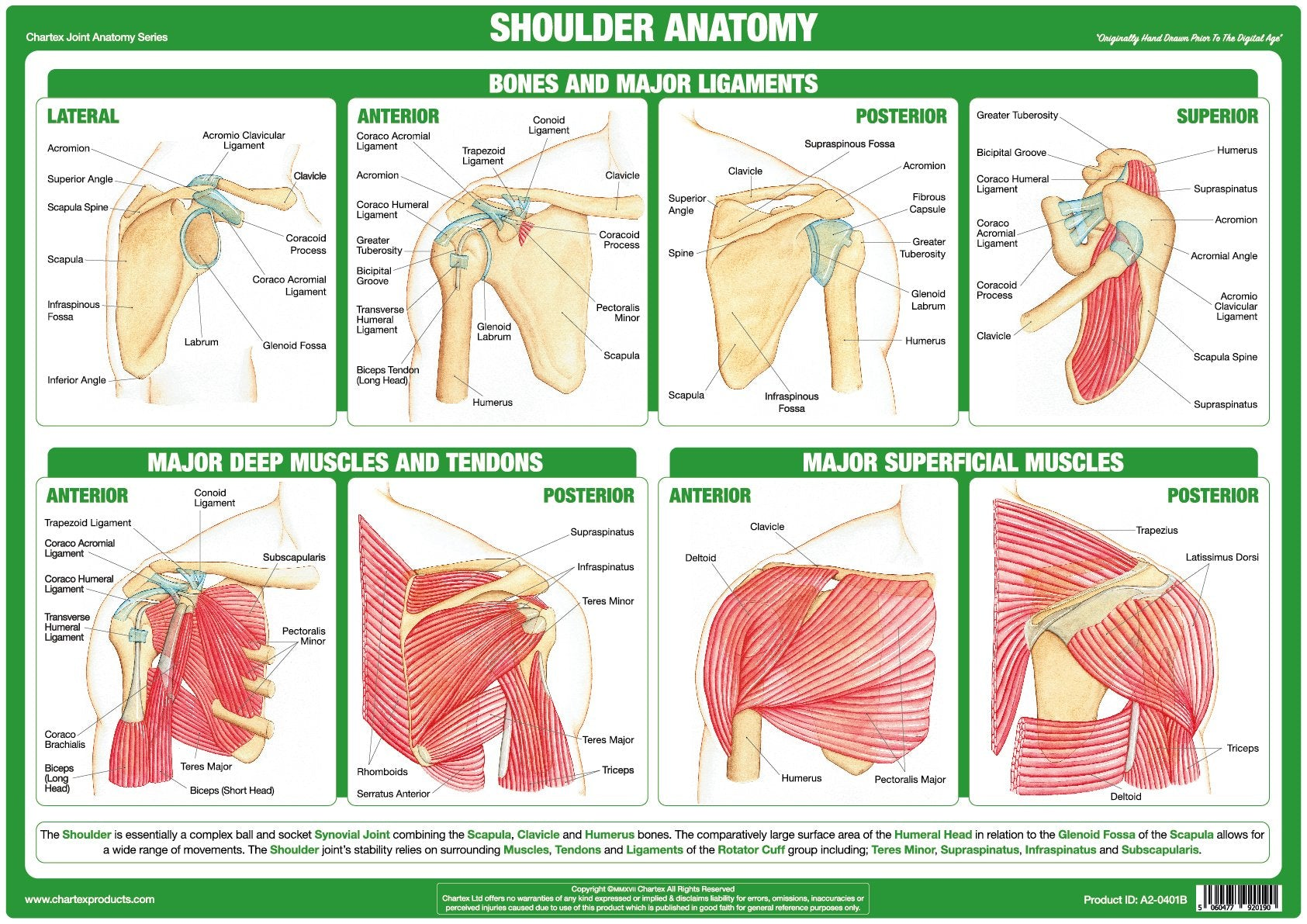 Shoulder Joint Anatomy Chart – Chartex Ltd