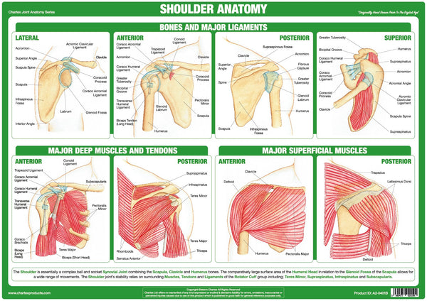 Shoulder Joint Anatomy Chart - Chartex Ltd