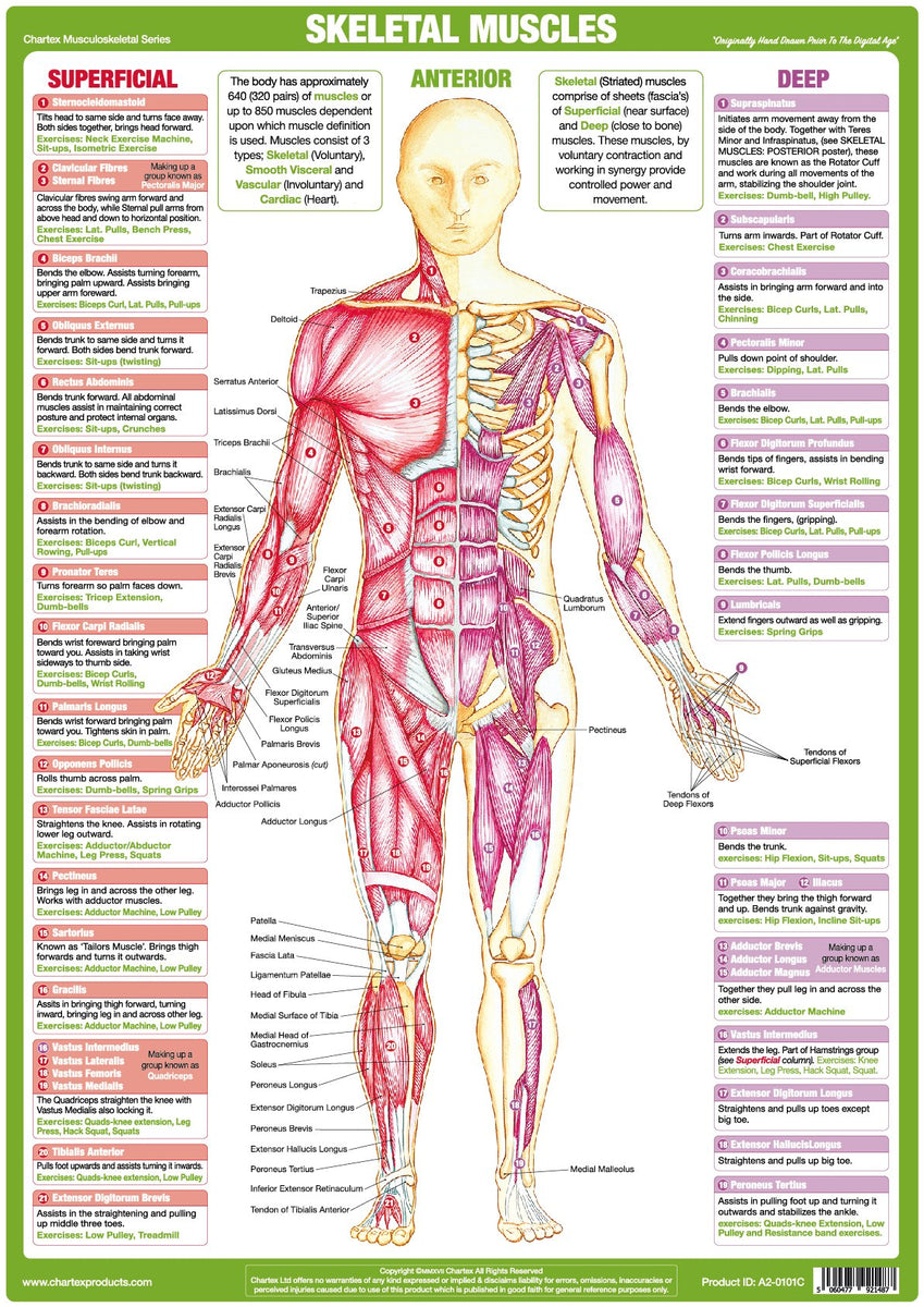 Muscle Anatomy Chart - Anterior - Chartex Ltd