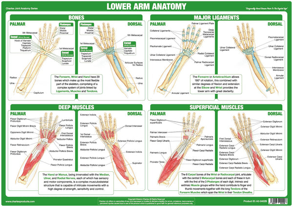 Lower Arm Anatomy Chart