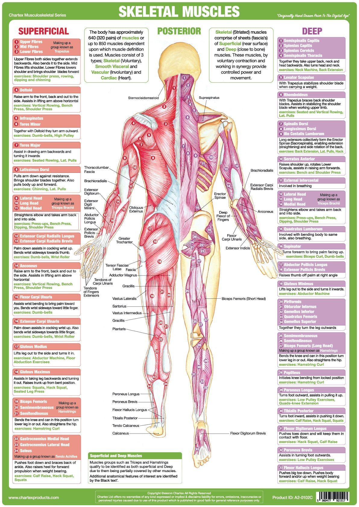 Muscle Anatomy Chart- Posterior – Chartex Ltd