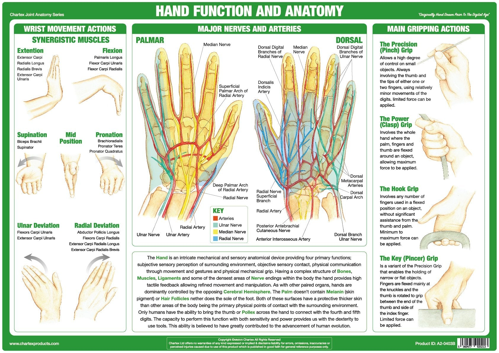 Hand Function & Anatomy Chart