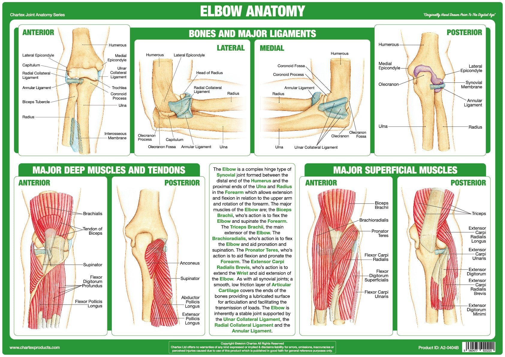 Chartex Elbow Joint Anatomy Chart Chartex Ltd