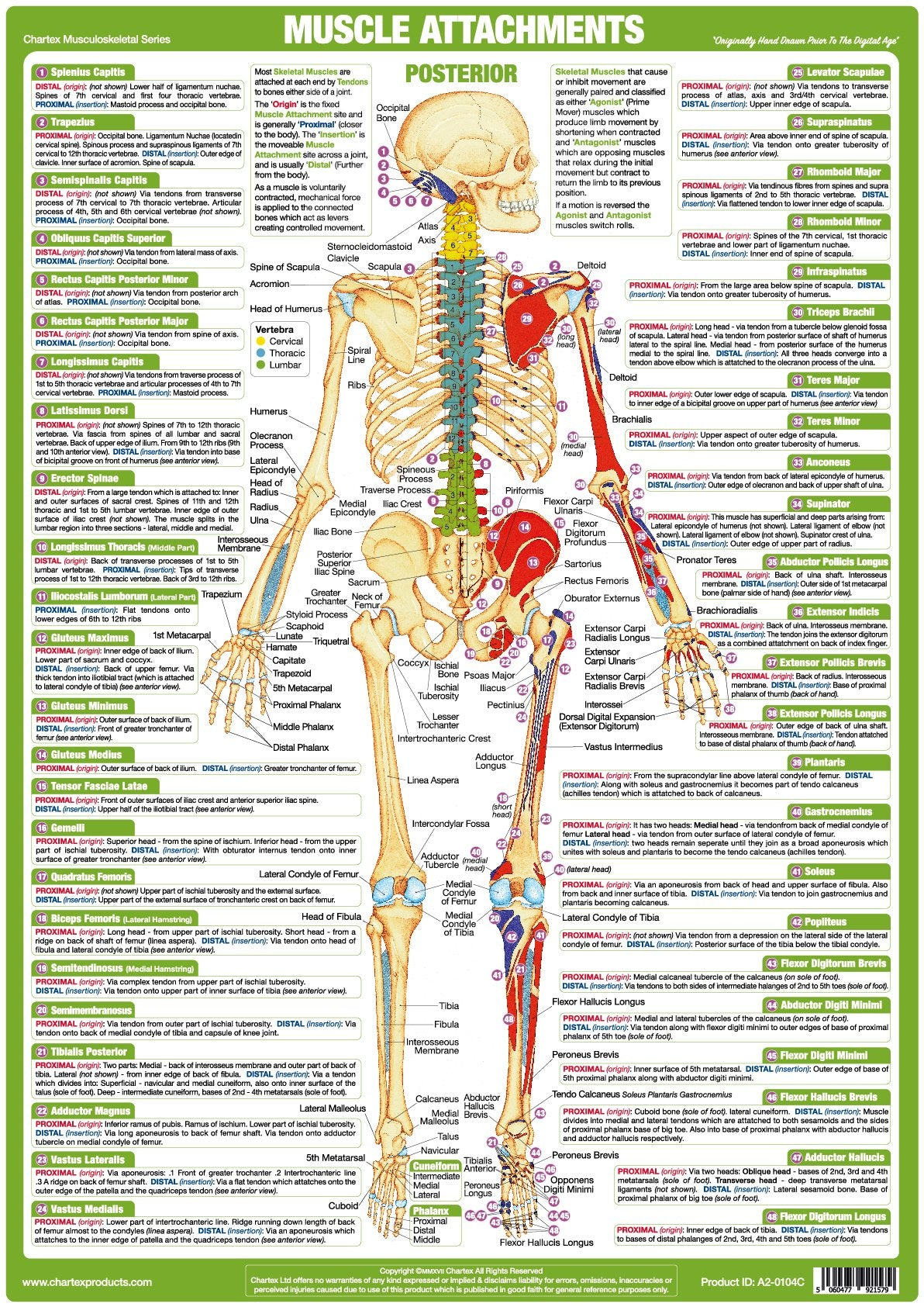 Muscle Attachments Chart - Posterior