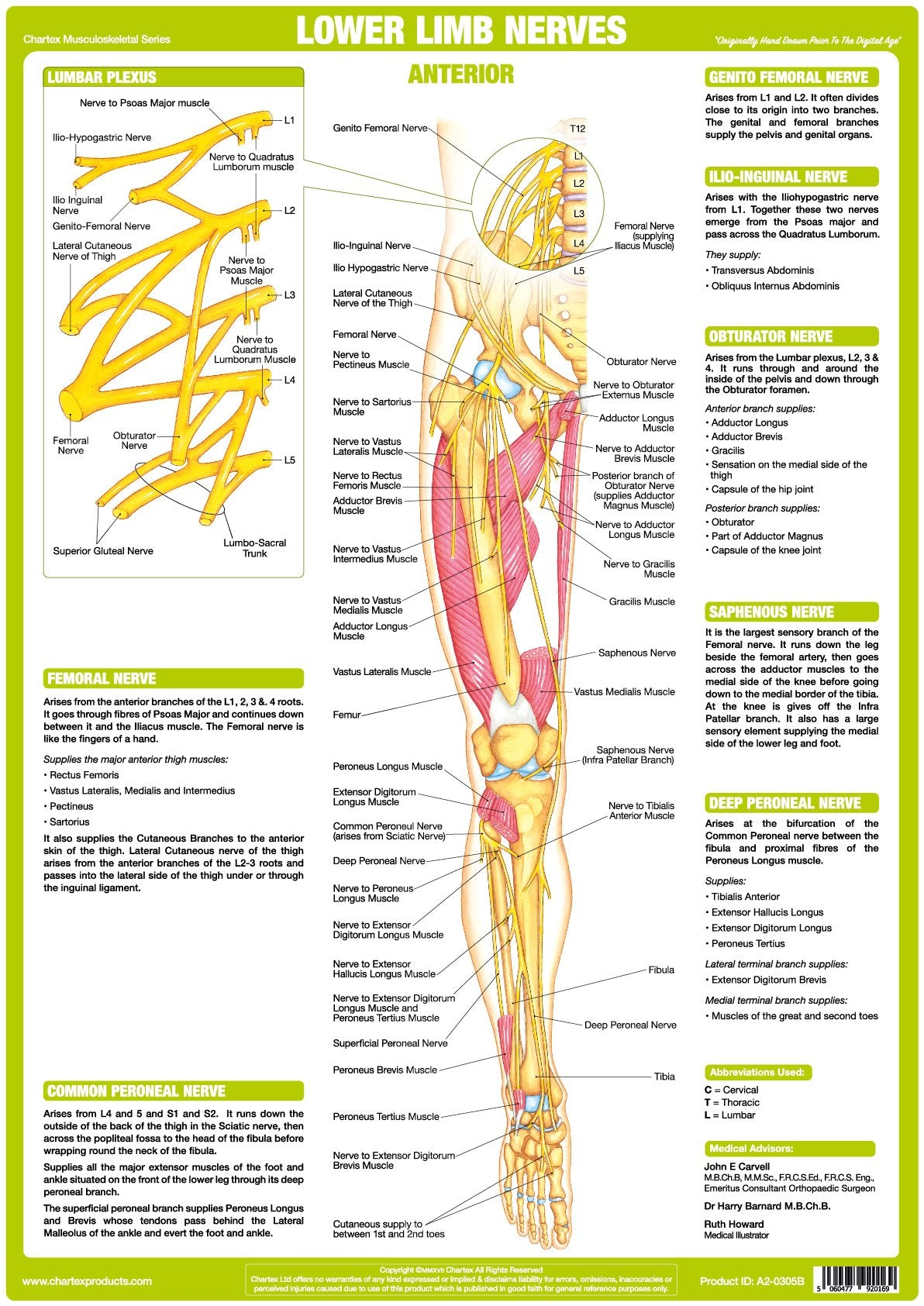 Lower Limb Nerve Anatomy Chart - Anterior