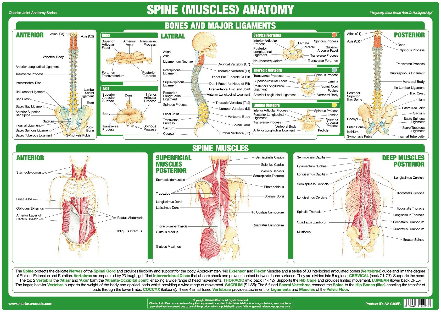 Spine Muscles Anatomy Chart - Chartex Ltd