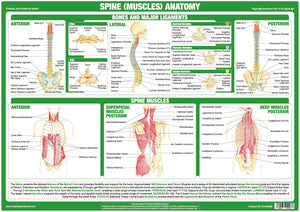 Spine Muscles Anatomy Chart – Chartex Ltd