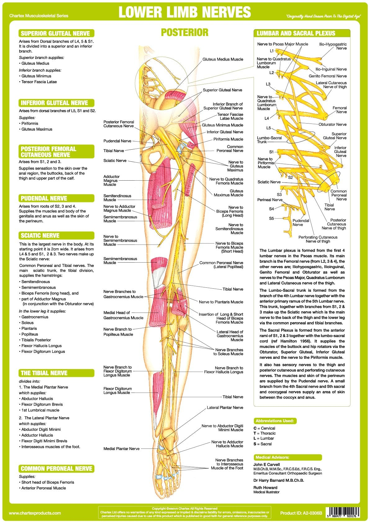 Lower Limb Nerve Anatomy Chart - Posterior – Chartex Ltd