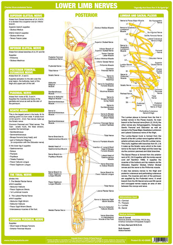 Nerve Anatomy Chart - Lower Limb Posterior