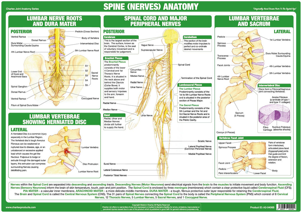Spinal Nerves Anatomy Chart – Chartex Ltd