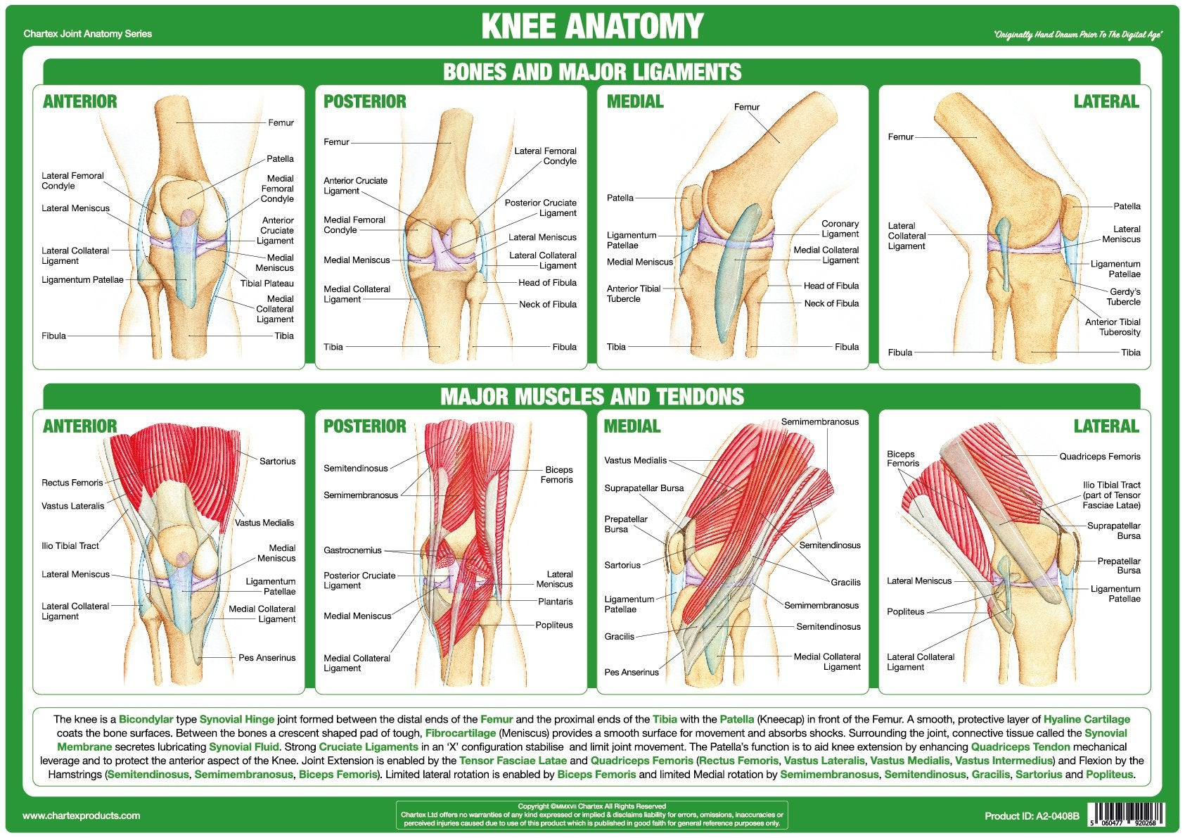 Knee Joint Anatomy Chart Chartex Ltd