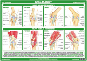Knee Joint Anatomy Chart